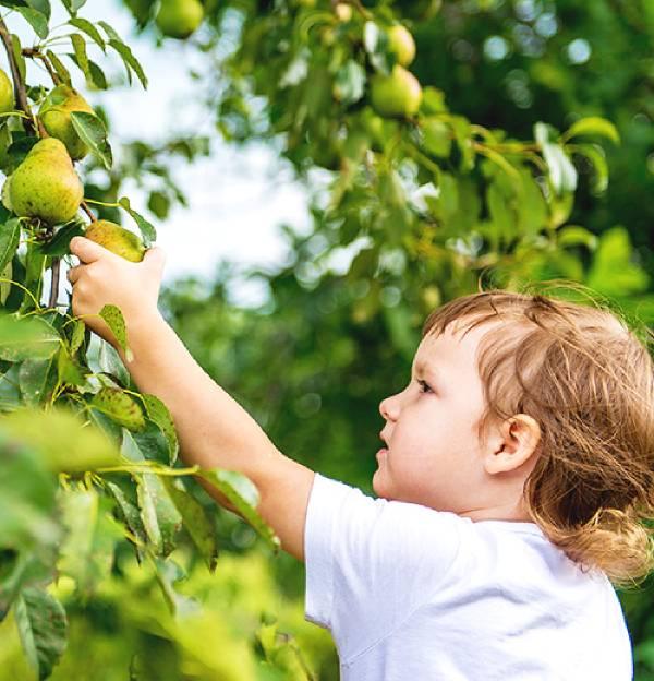 Bambino che prende una pera dall'albero